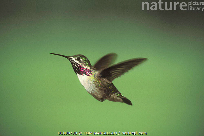 Calliope Hummingbird flying / hovering (Stellula calliope) USA Grand Teton NP, NORTH AMERICA,BIRDS,HUMMINGBIRDS,PORTRAITS ,Rocky Mountains,, TOM MANGELSEN