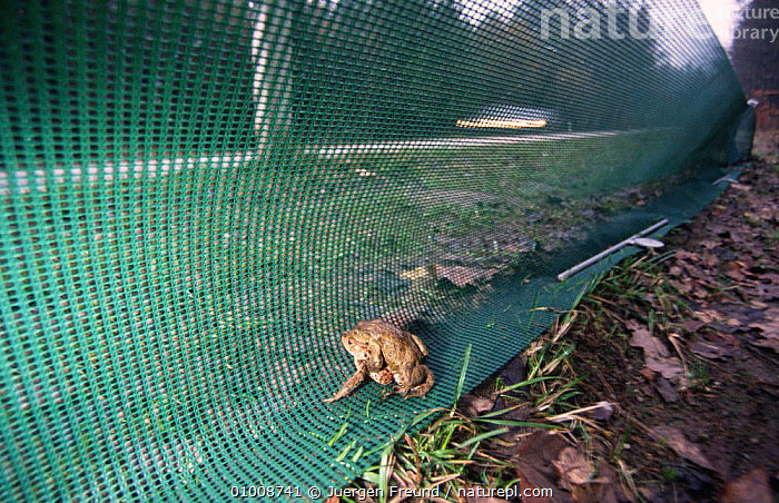 Toad by protective toadfence on roadside (Bufo bufo) Germany, TRAFFIC,TOADS,EUROPE,AMPHIBIANS,LAKES,ROADS,CONSERVATION,Anura,Catalogue1, Jurgen Freund