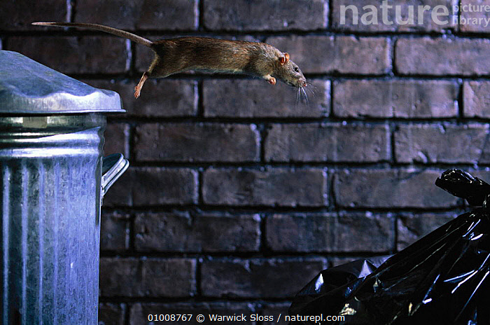 Brown Rat jumping from dustbin. (Rattus norvegicus) England  ,  ACTION,CAPTIVE,ENGLAND,JUMPING,MAMMAL,MAMMALS,NIGHT,ONE,RODENT,RODENTS,RUBBISH,URBAN,WS,EUROPE,MURIDAE,,Litter,Pollution,Waste,  ,  Warwick Sloss