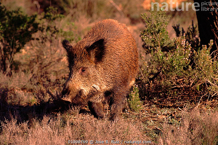 Young Wild Boar, Spain  ,  RR,ARTIODACTYLA,MAMMALS,SPAIN,HORIZONTAL,EUROPE,JUVENILE  ,  Jose B. Ruiz