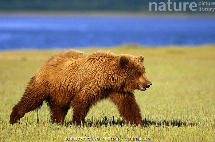 Brown bear {Ursus arctos} walking, Katmai NP, Alaska, USA, ALASKA,BEARS,CARNIVORES,MAMMALS,NORTH AMERICA,NP,PORTRAITS,PROFILE,USA,VERTEBRATES,WALKING,National Park, Lynn M Stone