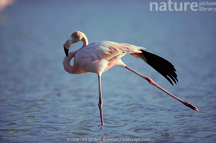 Greater Flamingo stretching. Galapagos Is (Phoenicopterus ruber)  ,  BIRDS,STRETCHING,WADING BIRDS,FLAMINGOS,OCEANIA,SOUTH AMERICA,PORTRAITS  ,  Jeff Rotman