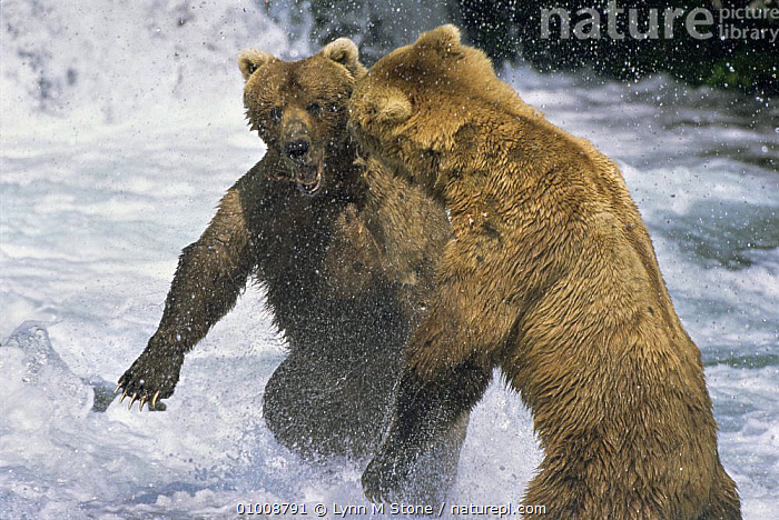 Brown Bears fighting in water (Ursus arctos) Alaska USA  ,  ACTION,BEARS,CARNIVORES,DRAMATIC,FIGHTING,MAMMALS,RIVERS,USA,VERTEBRATES,WATER,North America,Aggression,Concepts  ,  Lynn M Stone