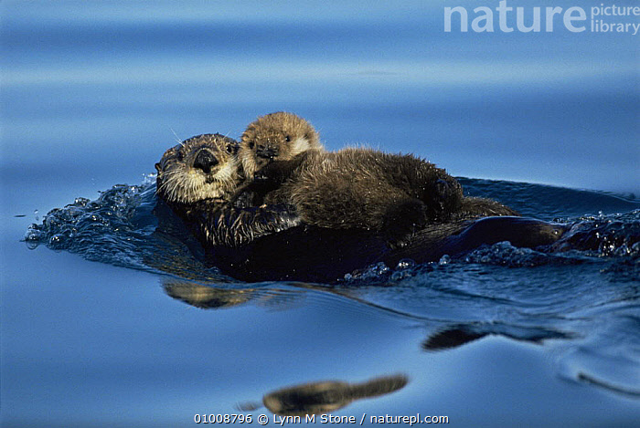 Sea Otter floating at sea surface holding pup. Alaska (Enhydra lutris) USA  ,  AFFECTIONATE,CARNIVORES,COASTAL WATERS,CUTE,FAMILIES,MAMMALS,MARINE,MOTHER BABY,MUSTELIDS,OTTERS,OUTSTANDING,PACIFIC OCEAN,PARENTAL,USA,VERTEBRATES,North America,concepts,Catalogue1  ,  Lynn M Stone