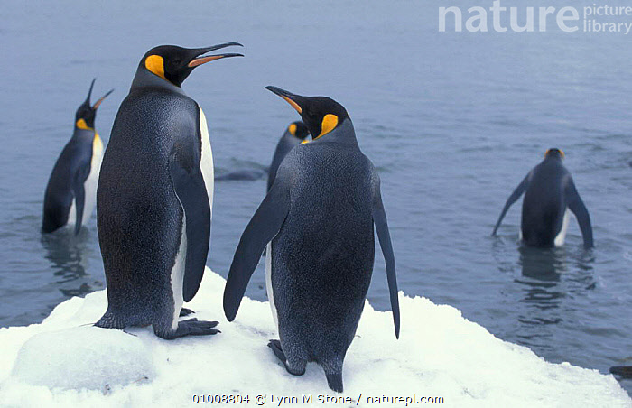 King Penguins, South Georgia (Aptenodytes patagoni), BIRDS,COASTS,FLIGHTLESS,GROUPS,IS,SEABIRDS,PENGUINS, Seabirds, Lynn M Stone