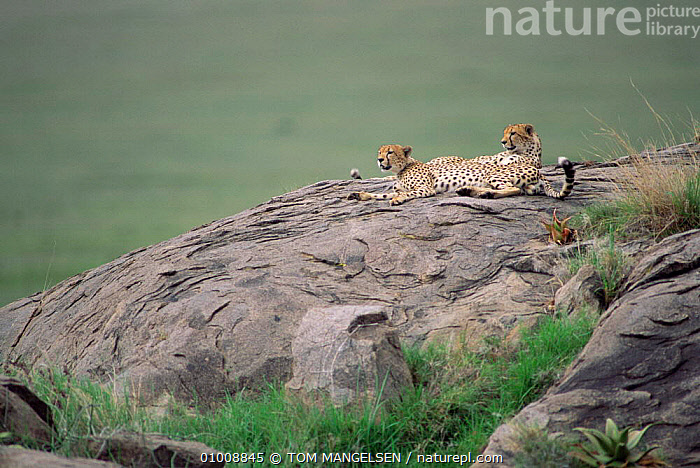 Cheetahs resting on rock, Serengeti NP. (Acinonyx jubatus) Tanzania, Africa., LANDSCAPES,MAMMALS,NP,CARNIVORES,CATS,AFRICA,EAST AFRICA,National Park,,Serengeti National Park, UNESCO World Heritage Site,, TOM MANGELSEN
