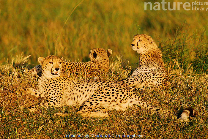 Mother Cheetah and two cubs (Acinonyx jubatus) at rest together, Masai Mara Game Reserve, Kenya, East Africa, BIG CATS,CARNIVORES,CATS,CHEETAHS,CUBS,EAST AFRICA,FAMILIES,MAMMALS,MOTHER,resting,VERTEBRATES,Africa, SIMON KING