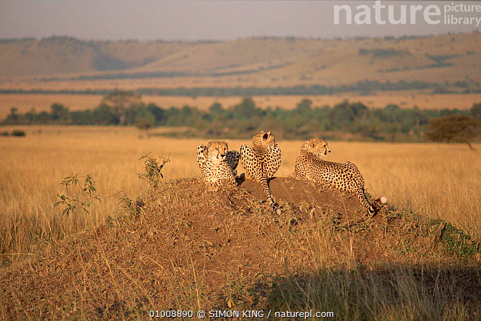 Three Cheetahs in Masai Mara, Kenya. Mother and cubs Evening light.  ,  FAMILIES,SAVANNA,AFRICA,MAMMALS,CARNIVORES,HORIZONTAL,MASAI,THREE,MARA,EAST AFRICA,LANDSCAPES,SK,GRASSLAND  ,  SIMON KING