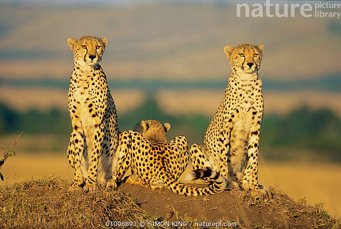 Cheetah mother and cubs in line, Masai Mara (Acinonyx jubatus) Kenya - Book ends, CHEETAHS,FAMILIES,SAVANNA,SUNSET,MAMMALS,EAST AFRICA,THREE,CATS,LANDSCAPES,OUTSTANDING,ATMOSPHERIC,AFRICA,GRASSLAND, SIMON KING