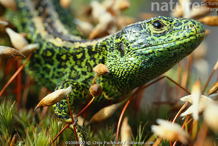 Sand lizard male (Lacerta agilis) UK  ,  BRITISH,CLOSE UPS,CP,ENDANGERED,EUROPE,HEATHLAND,HORIZONTAL,MALE,MALES,PORTRAITS,REPTILES,UK,WILDLIFE,UNITED KINGDOM,LIZARDS,GettyBOV  ,  Chris Packham