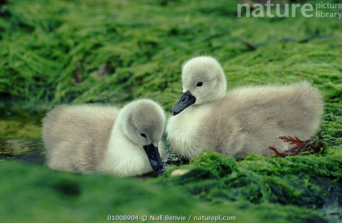 Mute Swan cygnets, Scotland  ,  TWO,WATERFOWL,HORIZONTAL,NB,BABIES,CYGNETS,BIRDS,SCOTLAND,CUTE,EUROPE,WILDFOWL, Waterfowl  ,  Niall Benvie