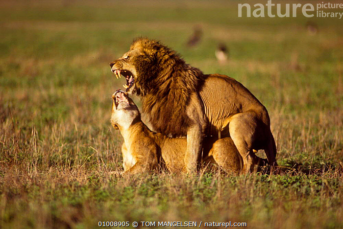 Mating Lions, Ngorongoro Crater (Panthera leo) Tanzania, Africa, MAMMALS,MATING BEHAVIOUR,INTERESTING,MALE FEMALE PAIR,EAST AFRICA,DRAMATIC,CATS,COPULATION,AFRICA,REPRODUCTION,LIONS,BIG CATS, TOM MANGELSEN