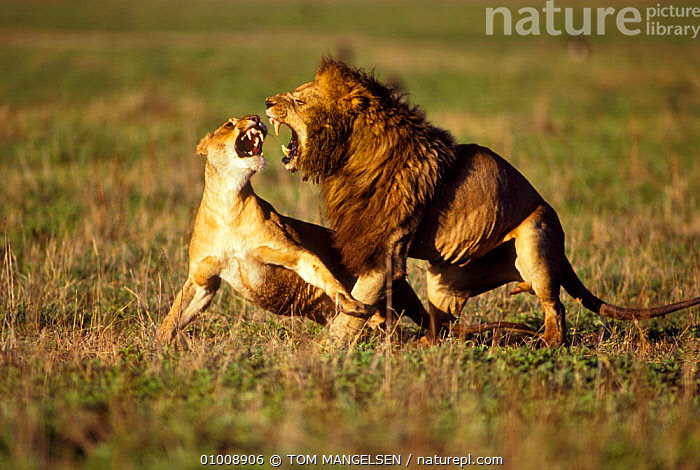 Mating Lions, Ngorongoro Crater (Panthera leo) Tanzania, Africa, COPULATION,CATS,DRAMATIC,EAST AFRICA,AGGRESSION,MALE FEMALE PAIR,MATING BEHAVIOUR,MAMMALS,AFRICA,CONCEPTS,REPRODUCTION,LIONS,BIG CATS, TOM MANGELSEN