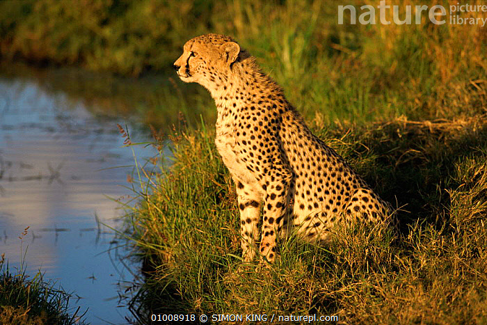 Cheetah (Acinonyx jubatus) portrait sitting by stream, Masai Mara Game Reserve, Kenya, East Africa  ,  AFRICA,BIG CATS,CARNIVORES,CATS,CHEETAHS,EAST AFRICA,MAMMALS,NP,PORTRAITS,PROFILE,RESERVE,VERTEBRATES,WATER,National Park  ,  SIMON KING