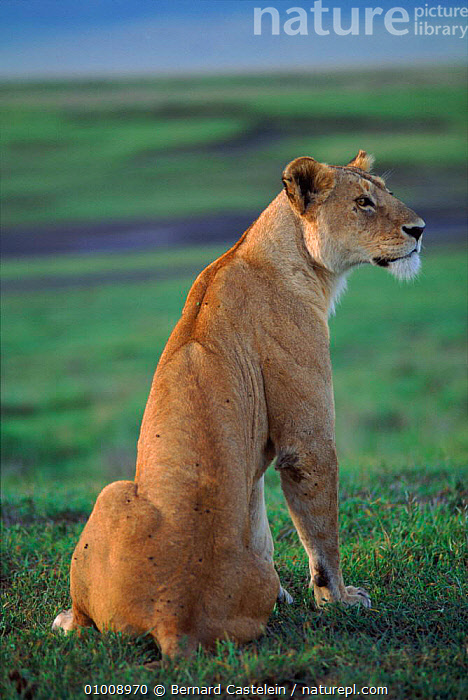 Lioness sitting, Ngorongoro Crater, Tanzania, East Africa, AFRICA,BACK,BC,BIG,BIG CATS,CATS,CRATER,EAST AFRICA,FEMALES,LIONESS,LIONS,MAMMALS,NGORONGORO,PORTRAITS,SITTING,TANZANIA, Bernard Castelein