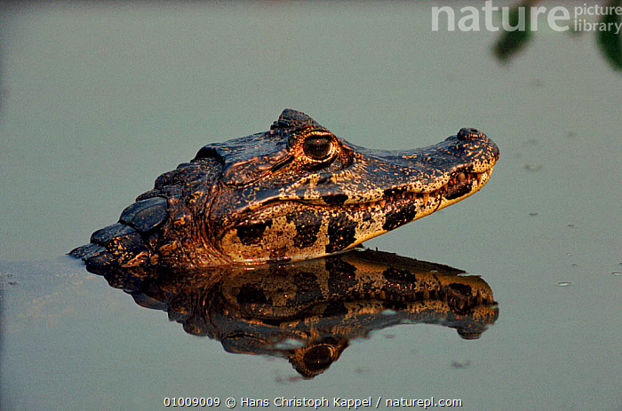 Spectacled Caiman in water, Pantanal, Brazil, PANTANAL,SOUTH AMERICA,REPTILES,WATER,WETLANDS,HORIZONTAL,BRAZIL,HK, ,RIVERS,CROCODYLIA, CAIMANS, Hans Christoph Kappel
