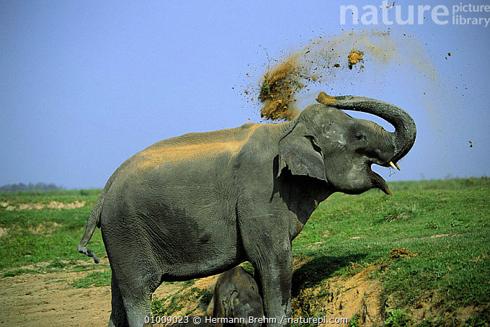Indian Elephant throwing dust over its back (Elephas maximus) India  ,  BEHAVIOUR,DUST BATHING,GROOMING,INDIA,INDIAN SUBCONTINENT,MAMMALS,PORTRAITS,PROBOSCIDS,TB,TRUNK,TRUNKS,ASIA,ELEPHANTS  ,  Hermann Brehm