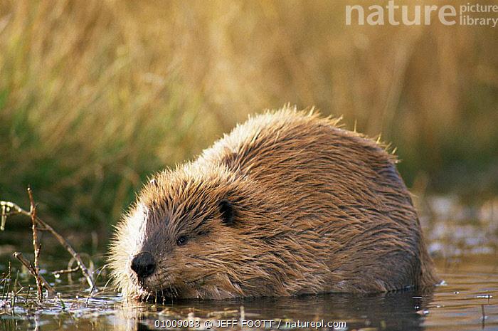 American beaver (Castor canadensis) eating willow Grand Teton NP, Wyoming, USA  ,  BEAVERS,FEEDING,LAKES,MAMMALS,NP,RODENTS,USA,VERTEBRATES,North America,National Park ,Rocky Mountains,  ,  JEFF FOOTT