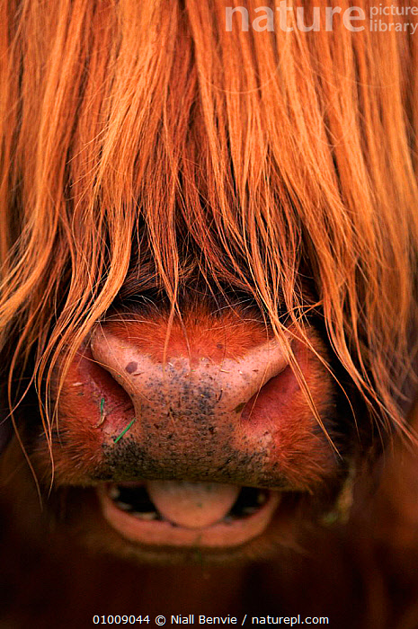Highland cattle - head close-up, Scotland  ,  BREEDS,BROWN,CLOSE UP,CONCEPTS,EUROPE,EUROPEAN,HAIR,HEAD,HIGHLAND,HUMOROUS,HUMOUROUS,MAMMALS,NB,NOSES,PORTRAITS,SCOTLAND,TONGUE,VERTICAL  ,  Niall Benvie