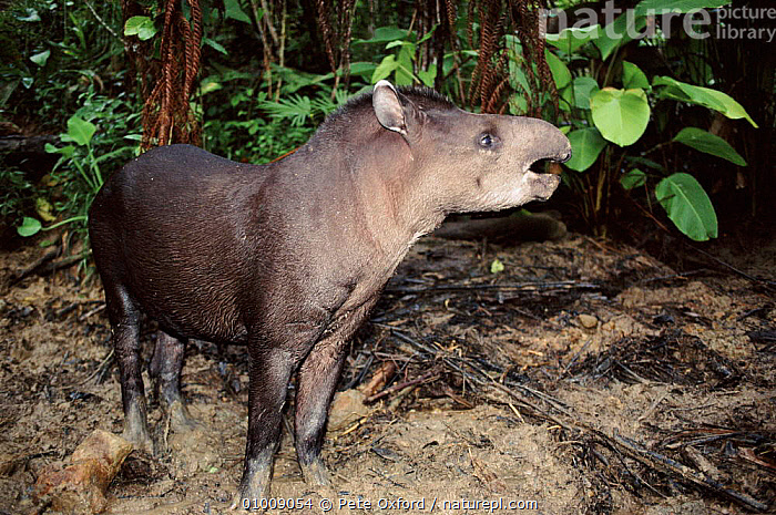 Brazilian Tapir at night, Ecuador, PORTRAITS,SOUTH AMERICA,FEEDING,PERISSODACTYLA,TROPICAL RAINFOREST,ECUADOR,PO,MAMMALS,NIGHT, Pete Oxford