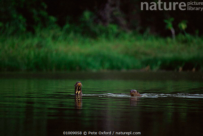 Giant otters (Pteronura brasiliensis) swimming at river surface, Manu NP, Peru, South America, CARNIVORES,HEADS,MAMMALS,MUSTELIDS,NP,OTTERS,RESERVE,RIVERS,SOUTH AMERICA,SURFACE,SWIMMING,two,VERTEBRATES,WATER,National Park, Pete Oxford