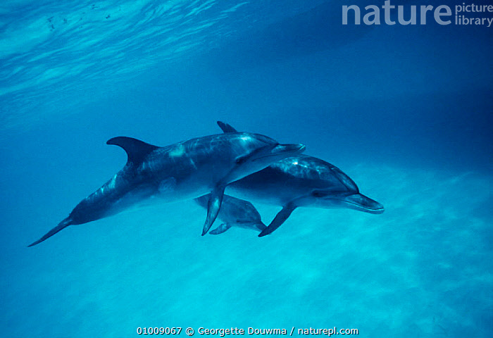 Atlantic Spotted Dolphins, Bahamas, BAHAMAS,BLUE,CARIBBEAN,CETACEANS,COASTAL WATERS,DOLPHINS,FAMILIES,GD,MAMMAL,MAMMALS,MARINE,SWIMMING,West Indies, Mammals, Georgette Douwma