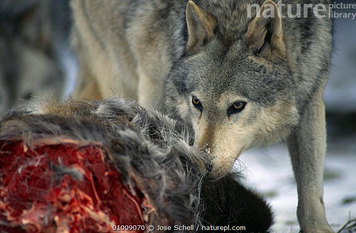 Grey wolf {Canis lupus} feeding on White-tailed deer, captive, Provincial Wildlife Park, Nova Scotia, Canada., CANADA,CANIDS,CARNIVORES,DEER,FEEDING,HEADS,MAMMALS,PORTRAITS,VERTEBRATES,WILDLIFE,WOLVES,North America,Dogs, Jose Schell