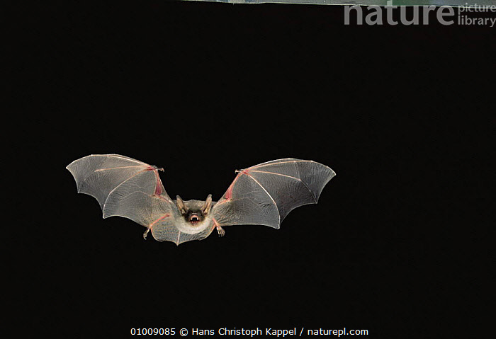 Greater Mouse Eared Bat {Myotis myotis} in flight at night, BATS,CHIROPTERA,CUTOUT,FLYING,MAMMALS,NIGHT,OUTSTANDING,PORTRAITS,VERTEBRATES,WINGS, Hans Christoph Kappel