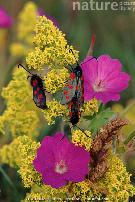 Six-Spot Burnet moths on flowers, Scotland  ,  COLOURFUL,GROUPS,INSECTS,FLOWERS,SCOTLAND,BL,PLANTS,DIURNAL,MOTHS,VERTICAL,EUROPE,INVERTEBRATES,LEPIDOPTERA  ,  Brian Lightfoot