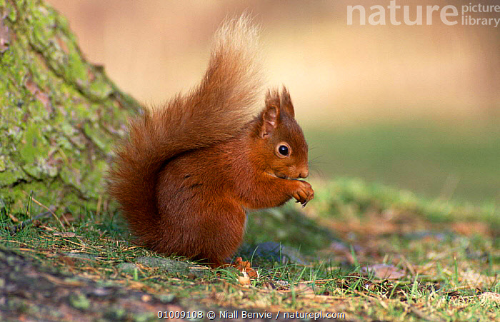 Red Squirrel (Sciurus vulgaris) Scotland, UK  ,  EUROPE,MAMMALS,PORTRAITS,PROFILE,RODENTS,SCOTLAND,SQUIRRELS,UK,VERTEBRATES,United Kingdom,British  ,  Niall Benvie
