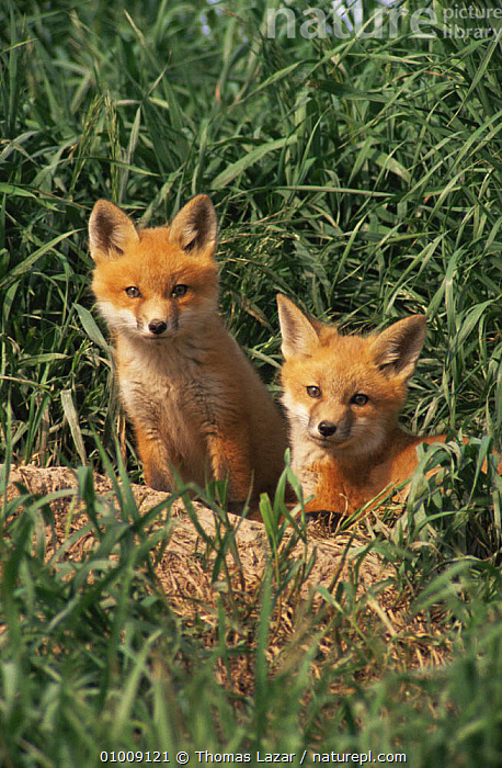Portrait of Red Fox cubs {Vulpes vulpes} Wisconsin, USA, CANIDS,CARNIVORES,CUBS,CUTE,FOXES,JUVENILE,MAMMALS,PORTRAITS,RED,USA,VERTEBRATES,VERTICAL,North America,Dogs, Thomas Lazar