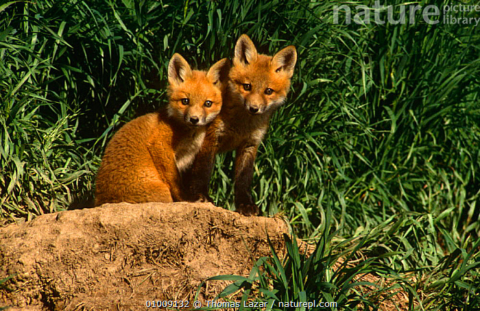 Two Red Fox cubs (Vulpes vulpes) near den, Wisconsin, USA, CANIDS,CARNIVORES,CUB,FOXES,JUVENILE,MAMMALS,NORTH AMERICA,USA,VERTEBRATES,Dogs, Thomas Lazar