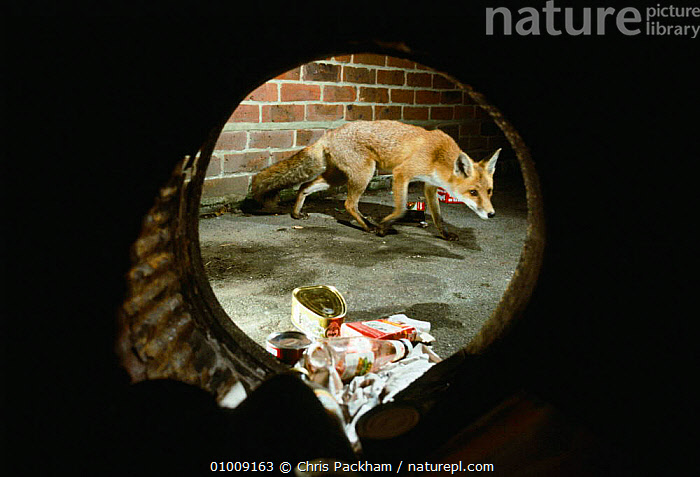 Red Fox taken through a dustbin at night foraging for food (Vulpes vulpes) Southampton, UK  ,  CANIDS,CARNIVORES,CITITES,ENGLAND,EUROPE,FORAGING,FOXES,INTERESTING,MAMMALS,NIGHT,NOCTURNAL,RED,UK,URBAN,VERTEBRATES,United Kingdom,British,Dogs  ,  Chris Packham