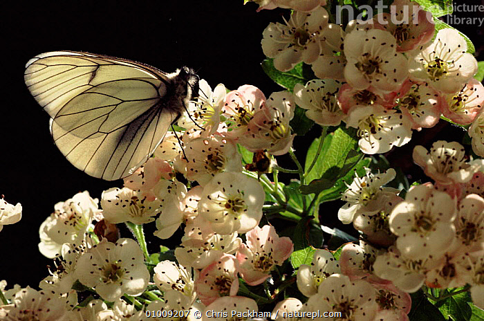 Black Veined White butterfly resting on Hawthorn flowers, UK, BRITISH,CAPTIVE,CP,ENGLAND,EUROPE,FLOWERS,HAWTHORN,HORIZONTAL,LEPIDOPTERA,SUMMER,UK,UNITED KINGDOM ,INSECTS,ARTHROPODS,INVERTEBRATES,LEPIDOPTERA, Chris Packham