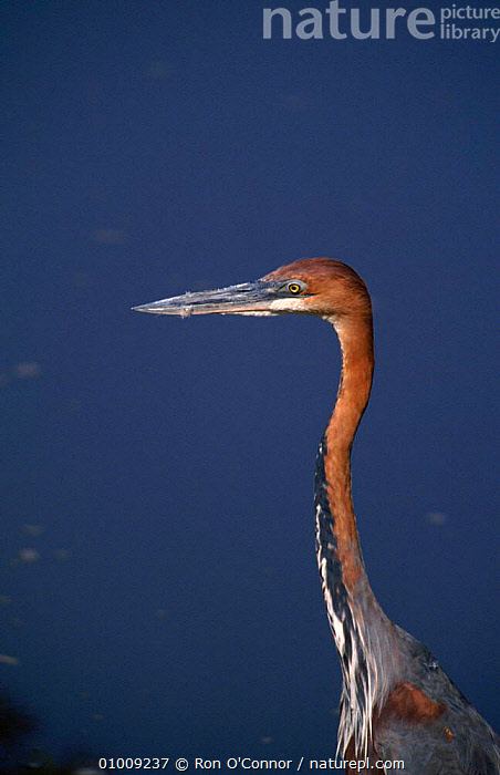Goliath Heron. South Africa, Kruger NP  ,  NP,PORTRAITS,SOUTHERN AFRICA,KRUGER,BIRDS,BEAK,,RO,PROFILE,AFRICA,HEAD,VERTICAL ,WADING BIRDS,NATIONAL PARK  ,  Ron O'Connor