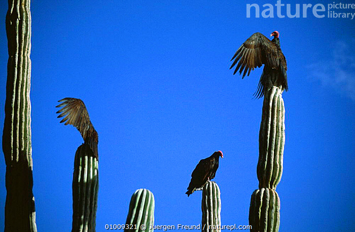 Turkey vultures (Cathartes aura) sunning themselves on Cardon cactus, Sonoran desert, Baja, Mexico, BIRDS,BIRDS OF PREY,CACTI,CACTUS,CENTRAL AMERICA,DESERTS,GROUPS,MEXICO,PLANTS,THERMOREGULATION,TURKEY,VERTEBRATES,VULTURES,WINGS,MIDDLE-EAST, Jurgen Freund