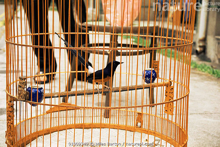 Birds in cages for birdsong competition. Singapore., ASIA,BIRDS,CAGED,SOUTH EAST ASIA,TRADITIONAL,URBAN,SOUTH-EAST-ASIA, Miles Barton