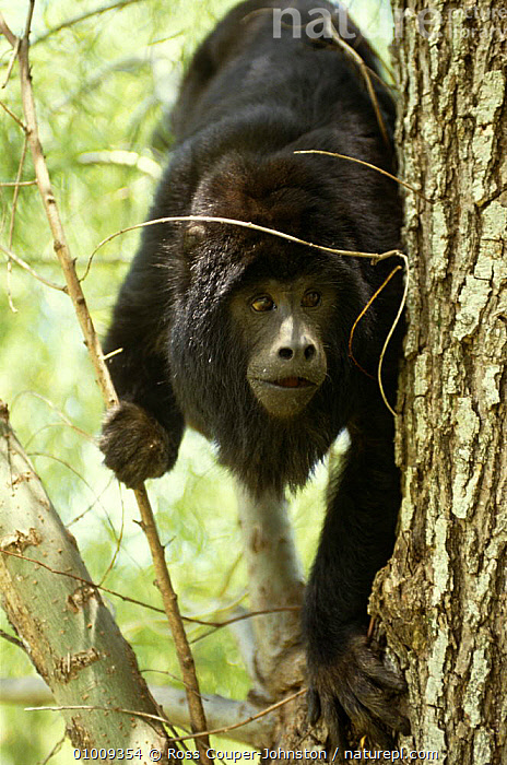 Black howler monkey {Alouatta caraya} Ibera Marshes NR, Argentina  ,  ARGENTINA,HOWLER MONKEYS,MAMMALS,MONKEYS,PORTRAITS,PRIMATES,RESERVE,SOUTH AMERICA,VERTEBRATES,VERTICAL  ,  Ross Couper-Johnston