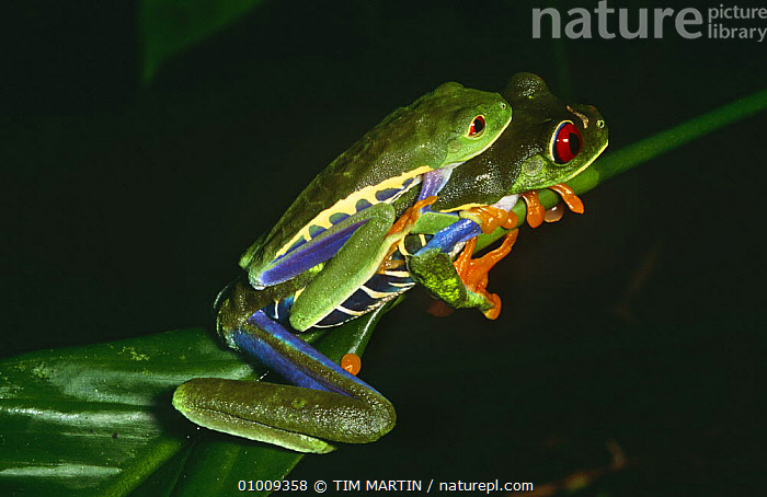 Red Eyed treefrogs mating (Agalychnis callidryas) La Madra Salva, Costa Rica, AMPHIBIANS,ANURA,CENTRAL AMERICA,COPULATION,FROGS,MALE FEMALE PAIR,MATING BEHAVIOUR,NIGHT,NOCTURNAL,PAIR,TREE FROGS,TROPICAL,TROPICAL RAINFOREST,TWO,VERTEBRATES,Reproduction , treefrog, TIM MARTIN
