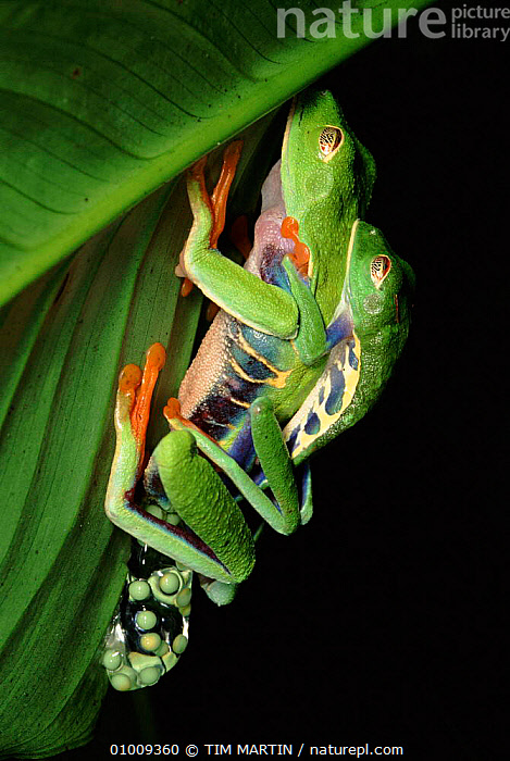 Red Eyed Tree frogs mating, Costa Rica  ,  EGGS,COSTA,RICA,AMPLEXUS,COPULATION,MALE FEMALE PAIR,MATING BEHAVIOUR,RAINFOREST,AMPHIBIANS,CENTRAL AMERICA,TIM,VERTICAL,TROPICAL RAINFOREST,REPRODUCTION  ,  TIM MARTIN