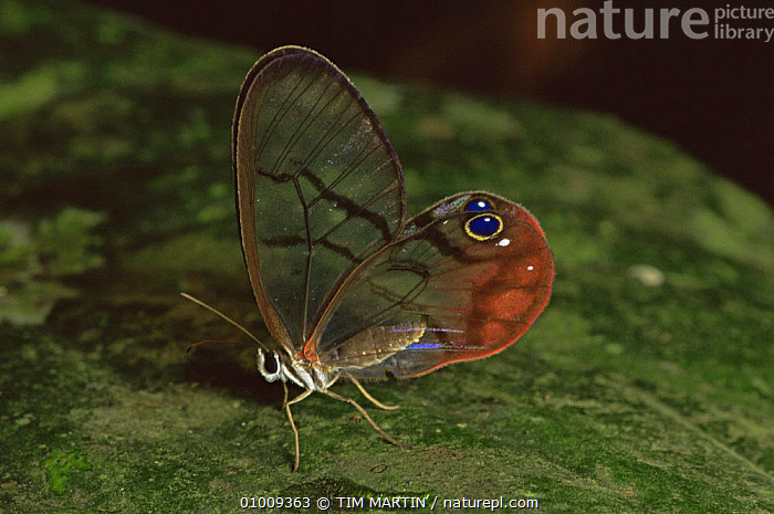 Glass Winged Butterfly (Dulcedo polita) on leaf, Central America  ,  , ARTHROPODS, BUTTERFLIES, CENTRAL-AMERICA, INSECTS, INTERESTING, INVERTEBRATES, LEPIDOPTERA, PORTRAITS, TROPICAL, TROPICAL-RAINFOREST, WINGS  ,  TIM MARTIN