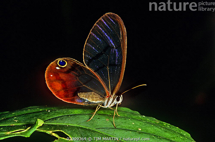 Glass winged butterfly {Dulcedo polita} on leaf, Central America, ARTHROPODS, BUTTERFLIES, CENTRAL-AMERICA, INSECTS, INVERTEBRATES, LEPIDOPTERA, PORTRAITS, TRANSPARENT, TROPICAL-RAINFOREST, WINGS,,Beauty in nature,,,beauty in nature,, TIM MARTIN