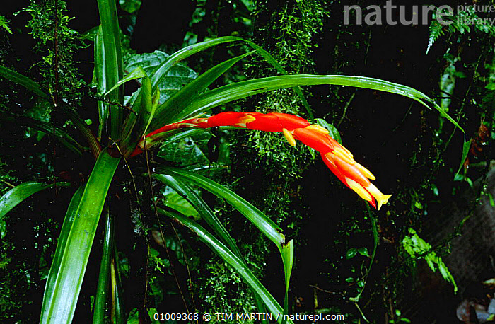 Flowering Bromeliad, Costa Rica (Bromeliaceae), CENTRAL AMERICA,CLOUD FOREST,EPIPHYTES,FLOWERS,PLANTS,TROPICAL RAINFOREST, TIM MARTIN