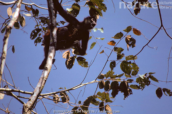 Black Handed Spider Monkey calling from tree tops (Ateles geoffroyi) Costa Rica  ,  ARBOREAL,CALLING,CENTRAL AMERICA,MAMMALS,MONKEYS,PRIMATES,SPIDER MONKEYS,TROPICAL,TROPICAL RAINFOREST,VERTEBRATES,VOCALISATION  ,  TIM MARTIN