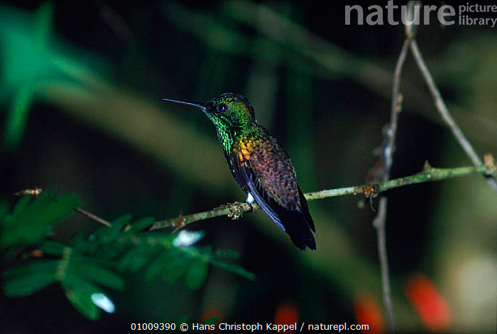 Copper Rumped Hummingbird, Trinidad  ,  BIRDS,CARIBBEAN,HK,HUMMINGBIRDS,PORTRAITS,TRINIDAD,TROPICAL RAINFOREST,West Indies  ,  Hans Christoph Kappel