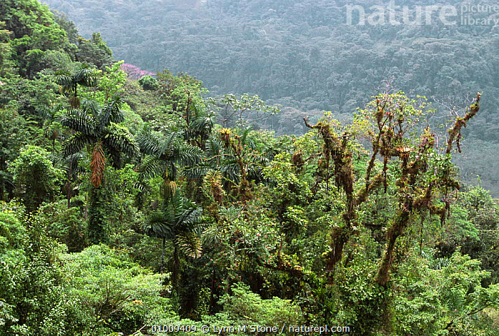 Ephiphytes in tree canopy, typical tropical rainforest landscape in Costa Rica, CANOPY,CENTRAL AMERICA,EPHIPHYTES,GREEN,HABITAT,LANDSCAPES,LUSH,PLANTS,TREES,TROPICAL,TROPICAL RAINFOREST, Lynn M Stone