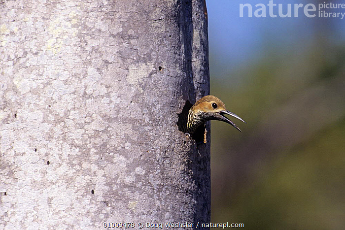 Fernandina's flicker (Colaptes fernandinae) female loking out of nest hole in tree trunk, Zapata Swamp, Cuba, vulnerable species  ,  BIRDS,CARIBBEAN,ENDANGERED,FEMALES,HEADS,NESTS,TRUNKS,VERTEBRATES,WOODPECKERS,West Indies  ,  Doug Wechsler