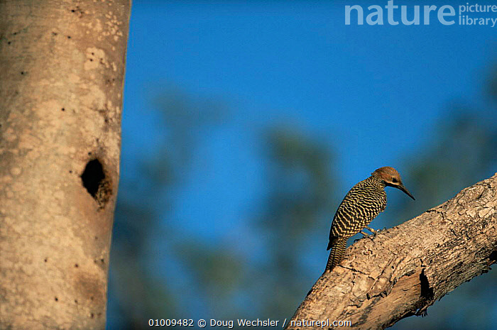 Fernandina's Flicker {Colaptes fernandinae} male, Zapata Swamp, Cuba., BIRDS,CARIBBEAN,ENDANGERED,MALES,PROFILE,TREES,VERTEBRATES,WEST INDIES,WOODPECKERS,Plants, Doug Wechsler