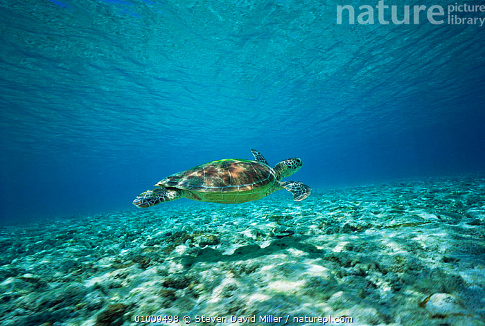 Green Turtle swimming (Chelonia mydas) Australia Great Barrier Reef, AUSTRALIA,CHELONIA,COASTAL WATERS,CORAL REEFS,ENDANGERED,MARINE,PACIFIC OCEAN,REPTILES,SWIMMING,TROPICAL,TURTLES,UNDERWATER, Turtles, Turtles, Turtles, Turtles,Catalogue1, Steven David Miller