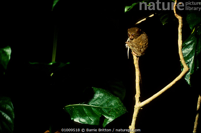 Spectral tarsier eating lizard {Tarsius tarsier / spectrum} captive, Indonesia  ,  ASIA,BEHAVIOUR,ENDANGERED,FEEDING,MAMMALS,NIGHT,PRIMATES,TARSIERS,TARSIIDAE,TARSIUS SPECTRUM,TROPICAL RAINFOREST,VERTEBRATES,VULNERABLE  ,  Barrie Britton